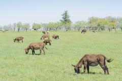 El burro oído hablar pasta en un prado verde Foto de archivo