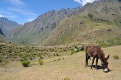 El burro pasta en los Andes peruanos foto de archivo