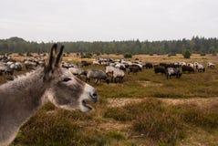 El burro protege la manada de las ovejas contra lobo Imágenes de archivo libres de regalías