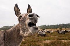 El burro protege la manada de las ovejas contra lobo Foto de archivo libre de regalías