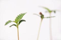 El cáñamo brota con una cáscara de la semilla atada a una hoja, aislada imagen de archivo