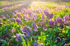 El césped cubierto con halleri floreciente del Corydalis Fotografía de archivo