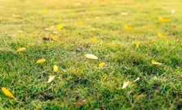 El césped de tierra con las hojas amarillas cae abajo en la hierba Imágenes de archivo libres de regalías