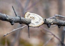 El círculo blanco formó la seta que crecía en una rama de árbol entre el th Foto de archivo