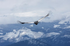 El cóndor se eleva sobre Bariloche, la Argentina Fotos de archivo libres de regalías
