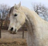El caballo árabe con las ventanas de la nariz señaló por medio de luces Fotos de archivo libres de regalías