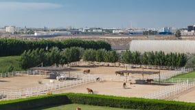 El caballo árabe corre el prado interior en el hyperlapse del timelapse del desierto del polvo, UAE almacen de video