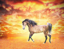 El caballo árabe corre en el campo del otoño en la puesta del sol Fotos de archivo