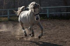 El caballo blanco Fotografía de archivo libre de regalías