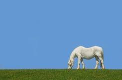 El caballo blanco Fotografía de archivo