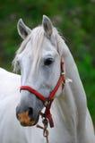 El caballo blanco Foto de archivo