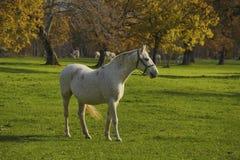 El caballo blanco delante de campos del otoño se cierra para arriba Fotografía de archivo