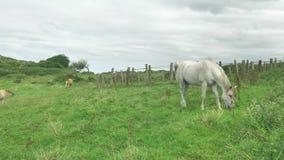 El caballo blanco está pastando en el prado verde, montaña backgrounded en el día soleado hermoso, comiendo la hierba metrajes