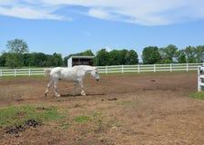El caballo blanco grande camina lentamente a través del corral para acoger con satisfacción a un visitante Fotos de archivo