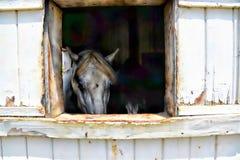 El caballo blanco grande hace el contacto visual con el visitante apenas fuera del establo Fotografía de archivo libre de regalías