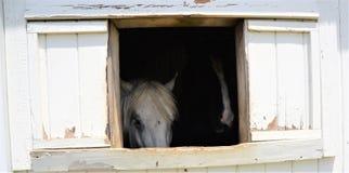 El caballo blanco grande hace sus sensaciones sabidas buscando una ventana tan cerca al visitante como sea posible Imagen de archivo libre de regalías