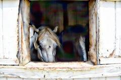 El caballo blanco grande y un estable-compañero miran fijamente hacia fuera la ventana del granero como si decir hola Fotos de archivo libres de regalías