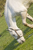 El caballo blanco hermoso en un prado verde Fotografía de archivo