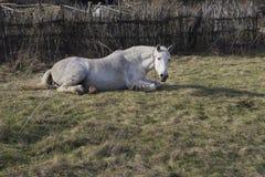 El caballo blanco miente en una hierba Imagen de archivo