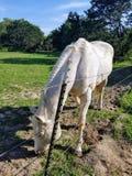 El caballo blanco pasta por la cerca Imagenes de archivo