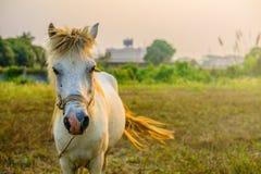 El caballo blanco que le mira Fotografía de archivo libre de regalías
