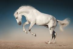 El caballo blanco salta Foto de archivo libre de regalías