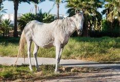 El caballo blanco se coloca en el fondo de palmeras en la puesta del sol Foto de archivo