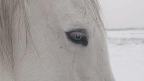 El caballo blanco se coloca en un campo nevoso del invierno almacen de video