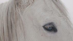 El caballo blanco se coloca en un campo nevoso del invierno metrajes