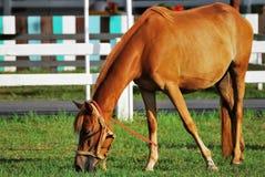 El caballo come el alimento Foto de archivo