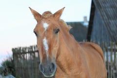 El caballo de bahía me mira con un vistazo cariñoso fotografía de archivo libre de regalías