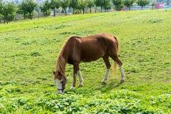 El caballo de Brown come la hierba en el prado en finales de vista lateral del otoño del verano Imagenes de archivo