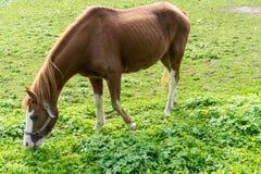 El caballo de Brown come la hierba en el prado en finales de vista lateral del otoño del verano Fotografía de archivo
