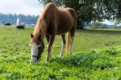 El caballo de Brown come la hierba en el prado en finales de vista lateral del otoño del verano Imagen de archivo