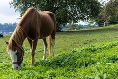 El caballo de Brown come la hierba en el prado en finales de vista lateral del otoño del verano Foto de archivo libre de regalías