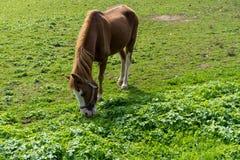 El caballo de Brown come la hierba en el prado en finales de vista lateral del otoño del verano Fotografía de archivo libre de regalías
