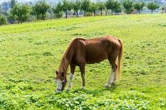 El caballo de Brown come la hierba en el prado en finales de vista lateral del otoño del verano Imágenes de archivo libres de regalías