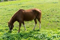 El caballo de Brown come la hierba en el prado en finales de vista lateral del otoño del verano Imagen de archivo libre de regalías