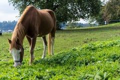El caballo de Brown come la hierba en el prado en finales de vista lateral del otoño del verano Fotos de archivo libres de regalías