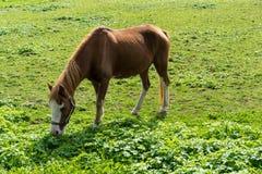 El caballo de Brown come la hierba en el prado en finales de vista lateral del otoño del verano Foto de archivo