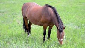 El caballo de Brown come la hierba fresca en el prado verde, diversidad del ambiente, almacen de video