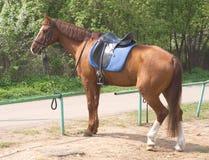El caballo de Brown en harness se coloca al aire libre Imagen de archivo libre de regalías