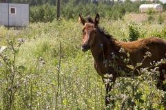 El caballo de Brown es que camina y de consumición de la hierba en el prado con las flores y los árboles lejos travelling fotos de archivo libres de regalías