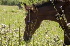 El caballo de Brown es que camina y de consumición de la hierba en el prado con las flores y los árboles lejos travelling fotografía de archivo