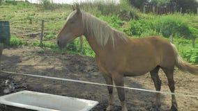 El caballo de Brown está pastando en pequeña zona privada verde de la granja en el día soleado hermoso metrajes