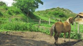 El caballo de Brown está pastando en pequeña zona privada verde de la granja en el día soleado hermoso almacen de video