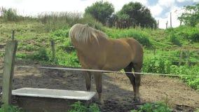 El caballo de Brown está pastando en pequeña zona privada verde de la granja en el día soleado hermoso almacen de metraje de vídeo