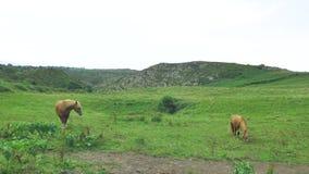 El caballo de Brown está pastando en el prado verde, montaña backgrounded en el día soleado hermoso, comiendo el heno de la hierb almacen de metraje de vídeo