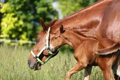 El caballo de la madre y su potro pastan el verano tim del prado de la hierba verde imágenes de archivo libres de regalías