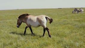 El caballo de Przewalski está caminando delante del grupo de cebras que pastan en la estepa almacen de metraje de vídeo